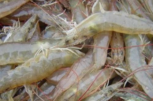 贵农十号对虾养殖利润分析