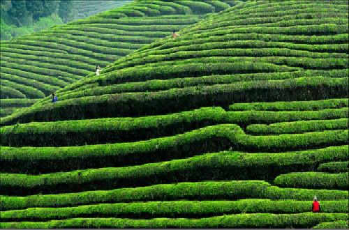 中国茶叶十大品牌,哪种茶叶最好喝